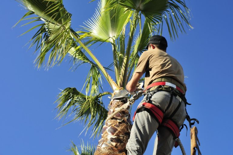 Man cutting palm tree fronds