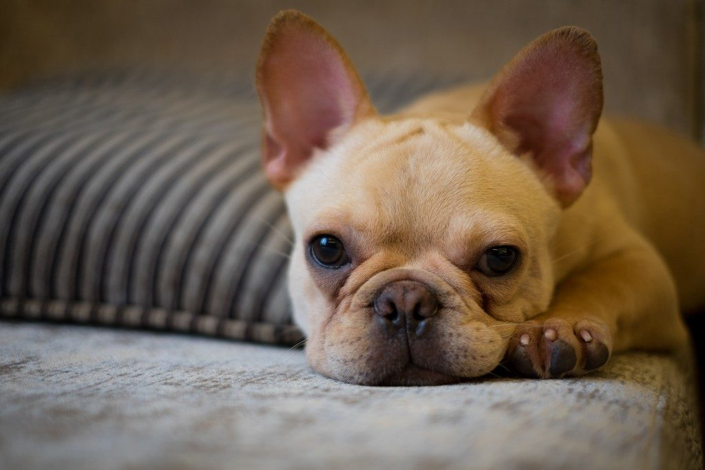 a tamed french bulldog