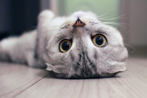 cat laying upside down