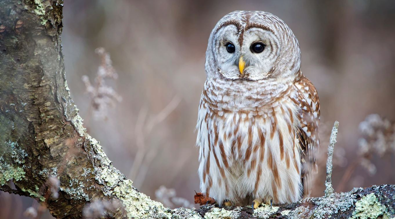 Can I Have An Owl As A Pet Pet Lovers Palace