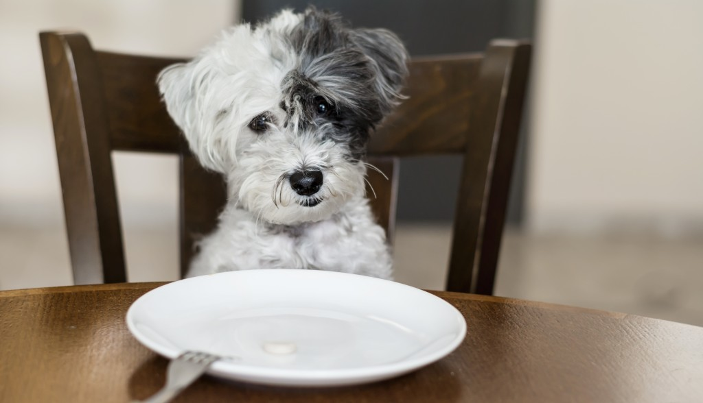 cute small white dog with empty white plate on the kitchen table