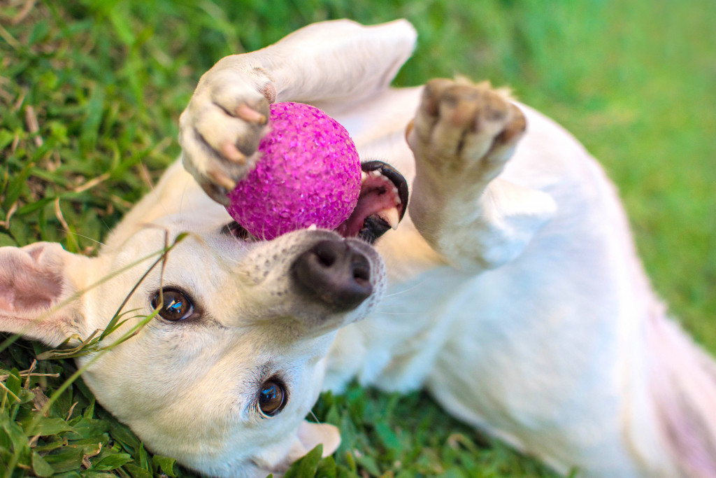 dog playing with ball on the grass